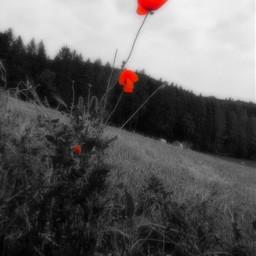 freetoedit camera myphoto colorsplasheffect mohnblume