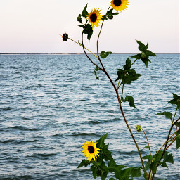 sunfllowers water nature silhouette freetoedit pcmyfavshot worldphotographyday