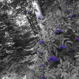 freetoedit myphoto nature naturephotography holunder