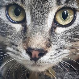 freetoedit catslovers tigercat animalsarefamily friendsnotfood