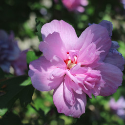freetoedit myphotography nature flowers hibiscus