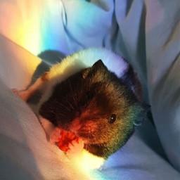 freetoedit hamster rainbow aesthetic goforit