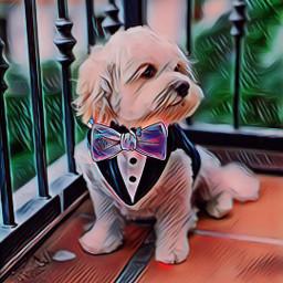 freetoedit dog animals lazo corbata srcbowtie