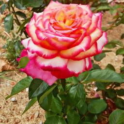rose flawers natura