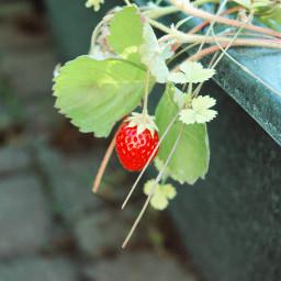 strawberry garden fruits lovely summertime freetoedit