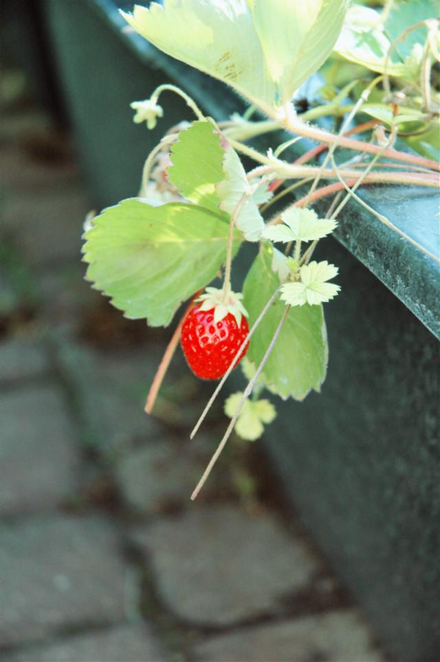 #strawberry #garden #fruits #lovely #summertime #summer 🍓   #freetoedit