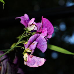 naturelovers sweetpea flower hdr2 outandabout