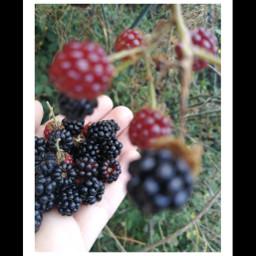 berries blackberries september1st
