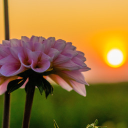 photography myphoto sunrise photooftheday flower freetoedit