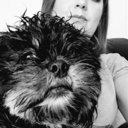 shihtzu furbaby shihtzufamily pets dog pcpetsofpicsart