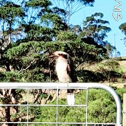 kookaburra australia nature wildlife birds freetoedit