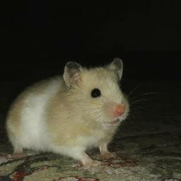 freetoedit pet hamster animal pcpetsofpicsart