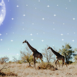 freetoedit ircgiraffes giraffes