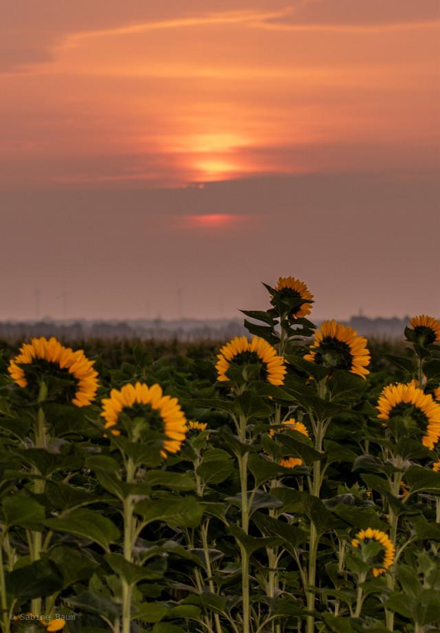 https://picsart.com/i/305404775059201    #photography #myphoto #photooftheday #sunrise #sky #flowers #sunflower  #freetoedit