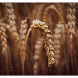 freetoedit korn wheat nature detail