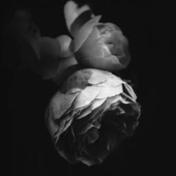 rose rosa flowers petals bloom