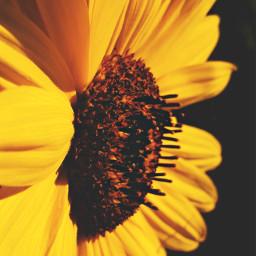 freetoedit photography sunflower beautiful nature