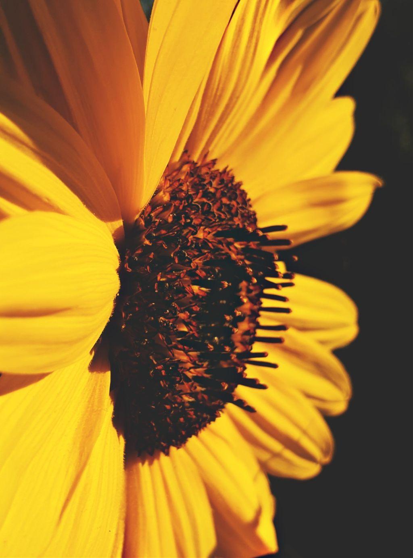 🧡  #freetoedit #photography #sunflower #beautiful #nature #myclick