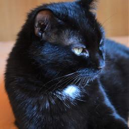 freetoedit photography pets cats black pcpetsofpicsart