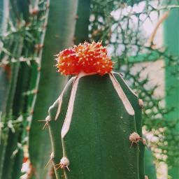 freetoedit cactus plant mycactus plantlove