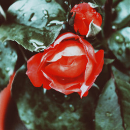 freetoedit flowerphotography rose red picoftheday