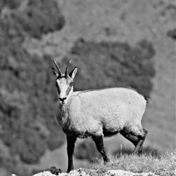 steinbock capricorn onthemountain nature animal