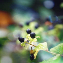 nature autumn berries bokeheffect photography freetoedit