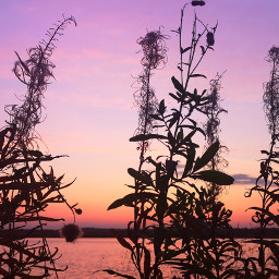sunset silhouette plant nature