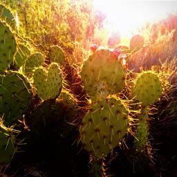 freetoedit cacti sunlight sunrays desertbeauty