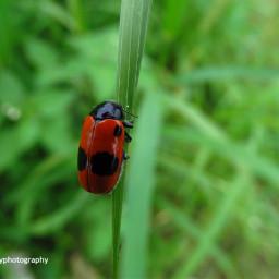 freetoedit ladybugs bugs insect wildlife