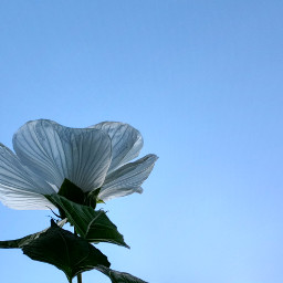 hibiscusflower hybiscus flower white bluesky freetoedit pcminimalism