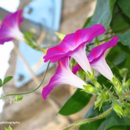 freetoedit flowers nature naturephotography followme