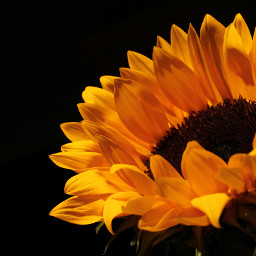 freetoedit sunflower myclick flower flowerphotography