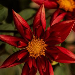 dahlia flowers autum magiceffect autumncolors