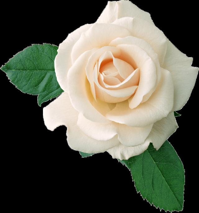 #ladymc #flower #whiterose #rose #white