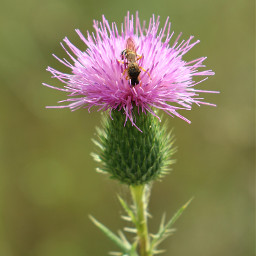 freetoedit myphotography nature flower thistle