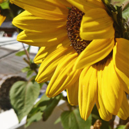 sunflower yellow nature photography colorful