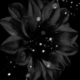 flower blackandwhite myart myedit beautiful