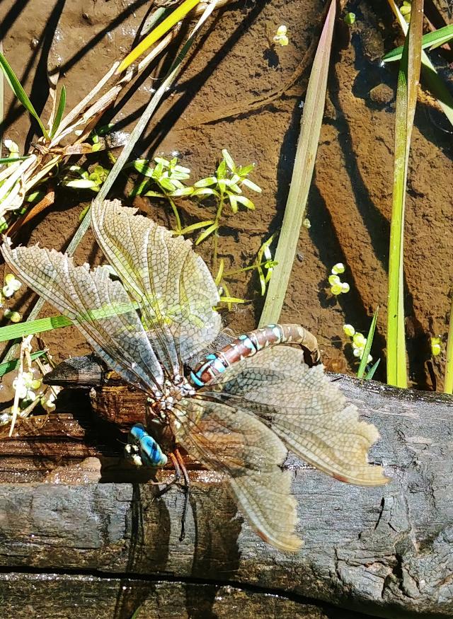 #dragonfly