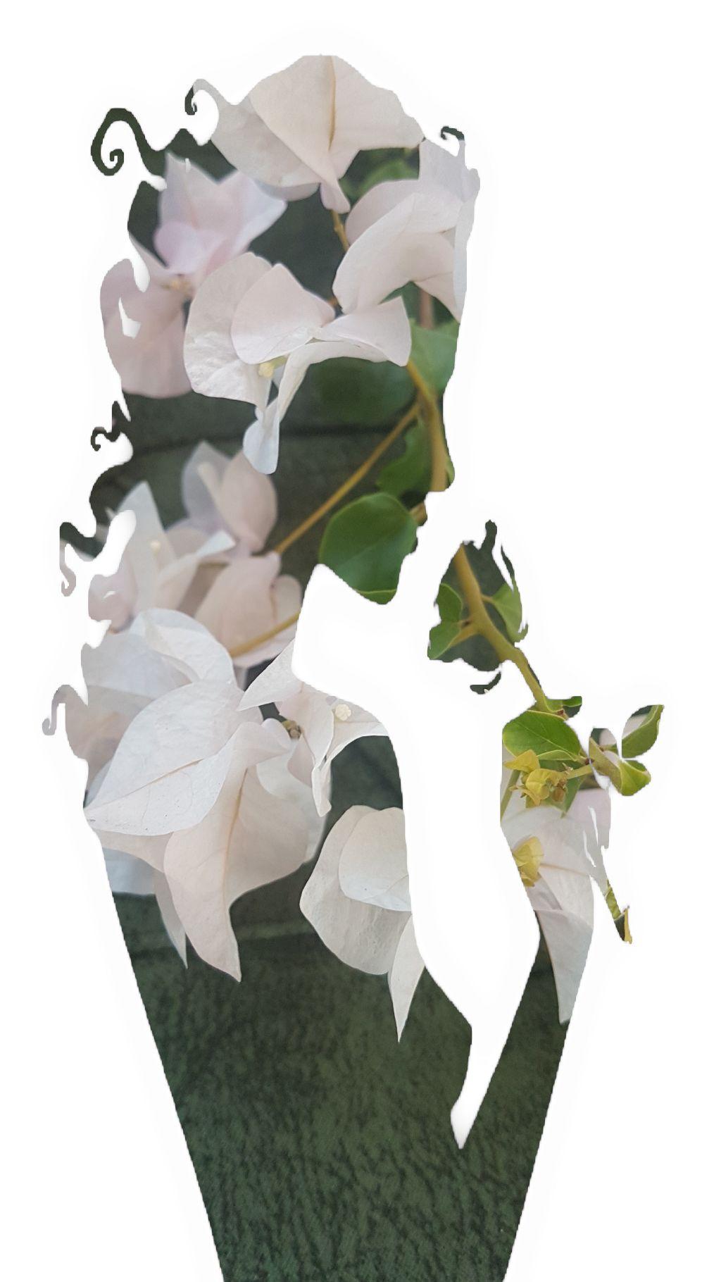 #freetoedit #begonvil#womanpower💪 #doubleexposurecontest #flower