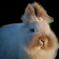 fluffy rabbit animal bunny freetoedit