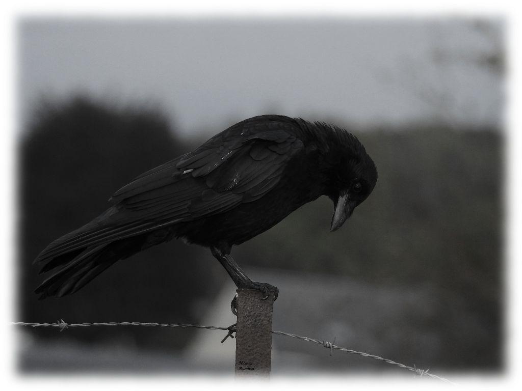 Corneille noire - Carrion crow - Corvus corone by Thomas Humbert #bird #blackbird #oiseau #wildlife #corvids #corvidé #corvidae #photography #corvidsofinstagram #animal #crow #wild #wildphotography #beauty