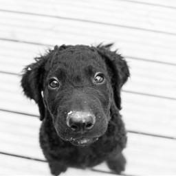 photography dog curlycoatedretriever
