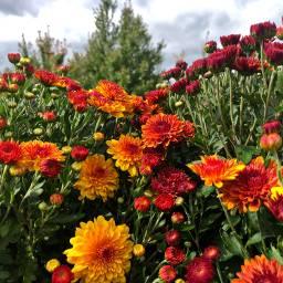 mums farm field nature florals freetoedit