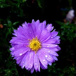 aftertherain waterdrops flower flowerpower freetoedit