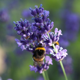 insect hummel