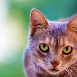 freetoedit pcpicsartpets picsartpets portrait cat