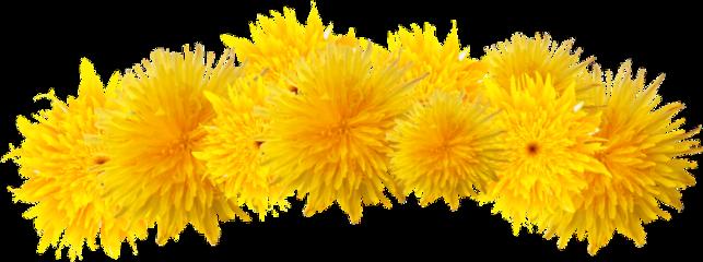 freetoedit dandelion crown flower spring