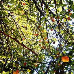 apples autumncolors