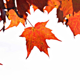 interesting photography fall leaves maple freetoedit